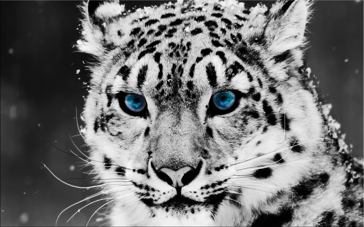 Snow Leopards Paintings Wall Art Giclee Canvas Prints Pictures Stretched Frame Ready To Hang